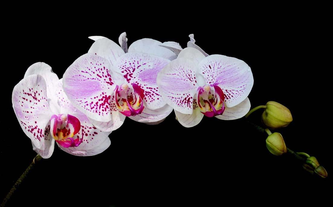 10 loại hoa lan đẹp nhất