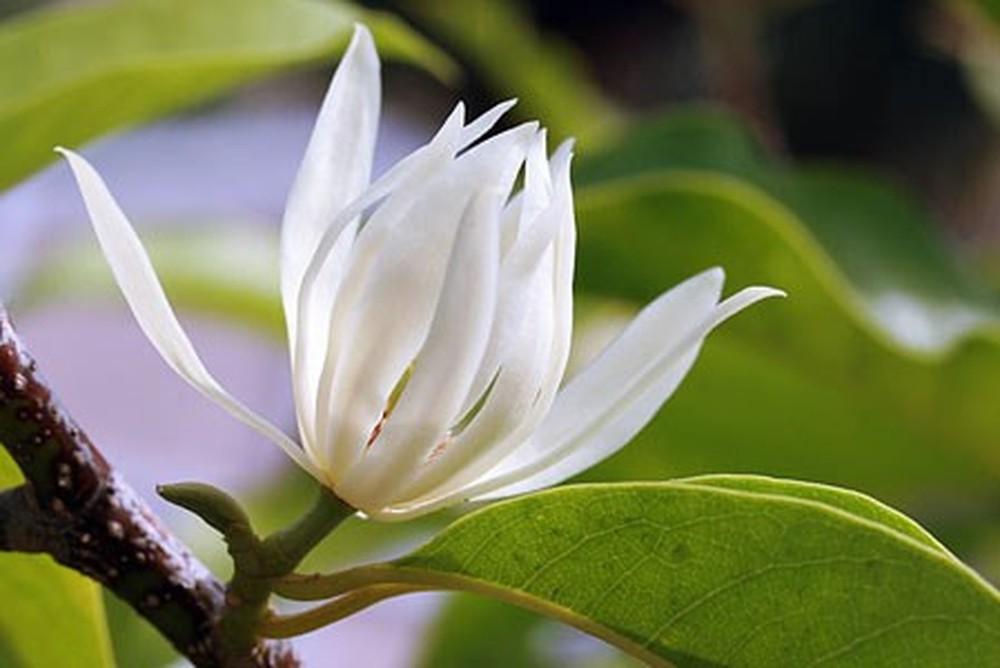 Bán cây hoa ngọc lan