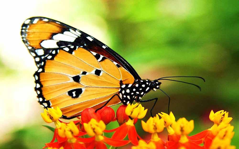 Bươm bướm bay vào nhà đánh con gì