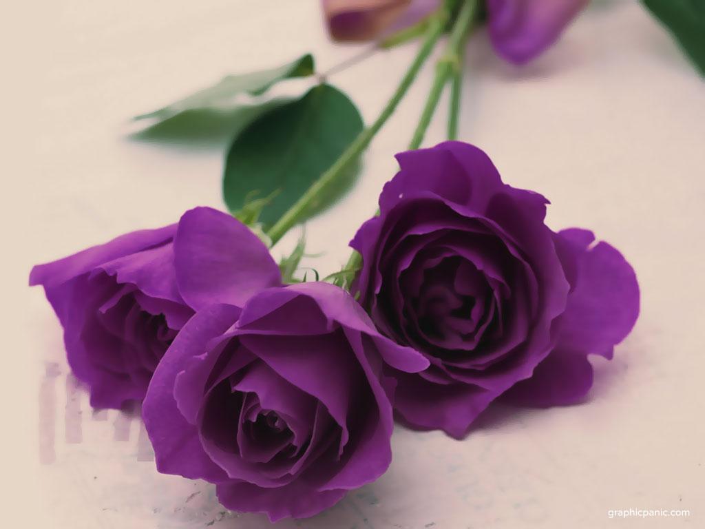 Cách chăm sóc hoa hồng màu tím