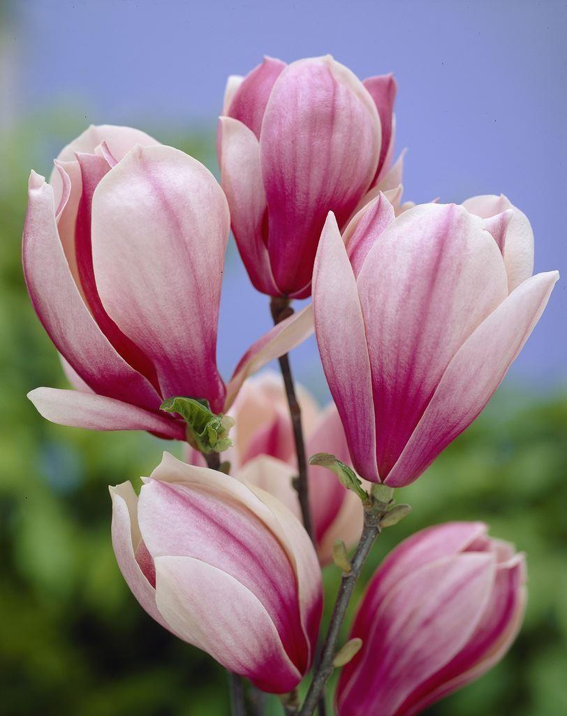 Cách trồng hoa ngọc lan