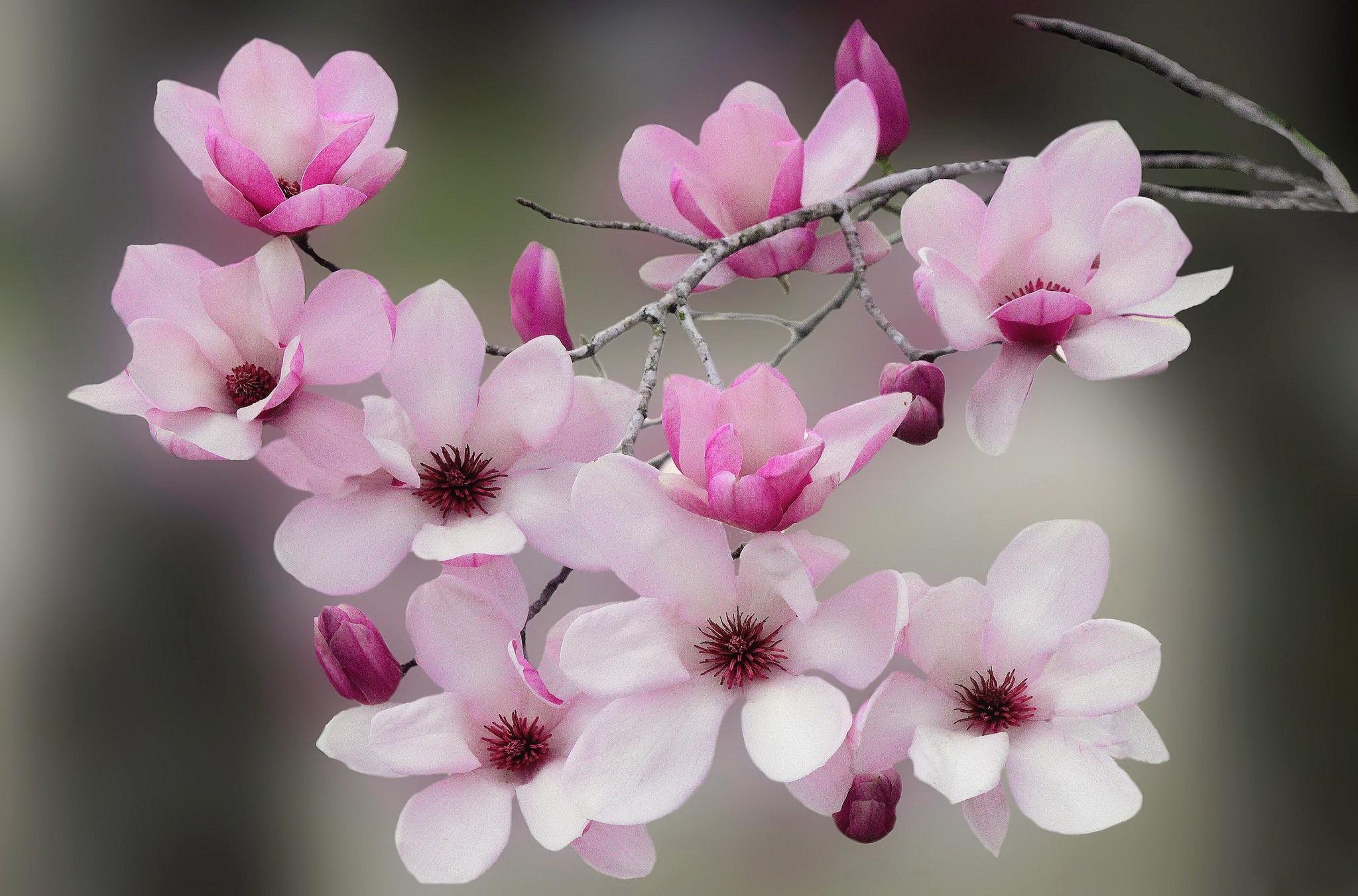 Chiêm ngưỡng vẻ đẹp ngây ngất của hoa ngọc lan
