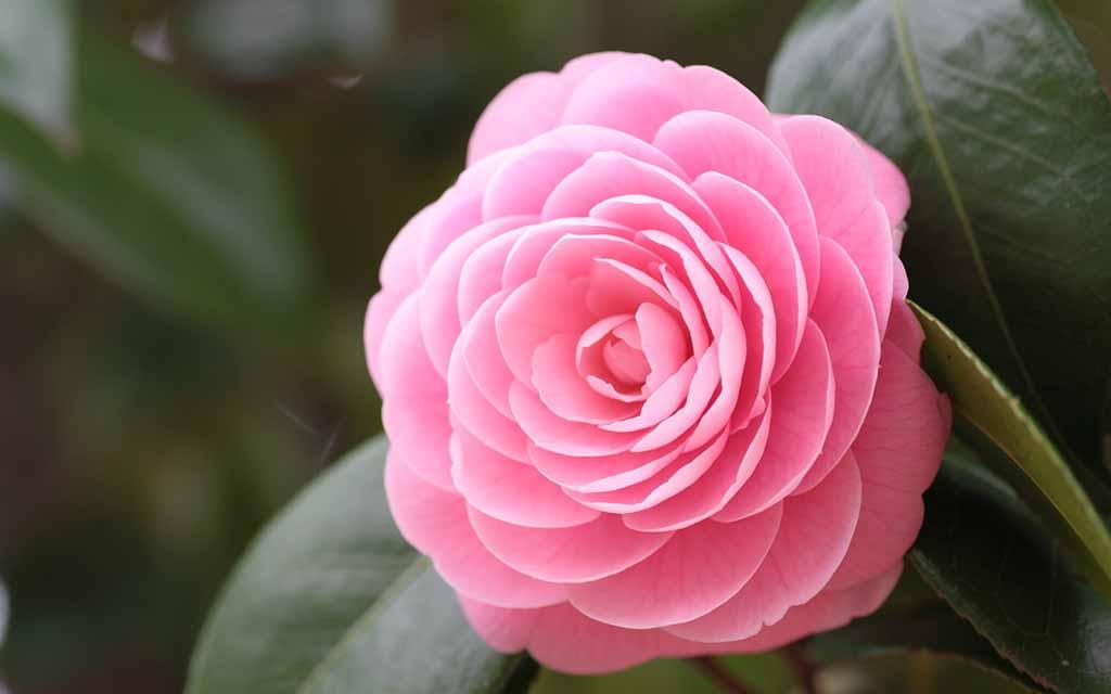 Có nên trồng hoa ngọc lan trong nhà không