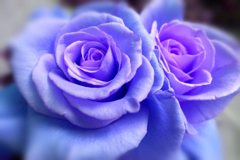 Giá hoa hồng tím đà lạt