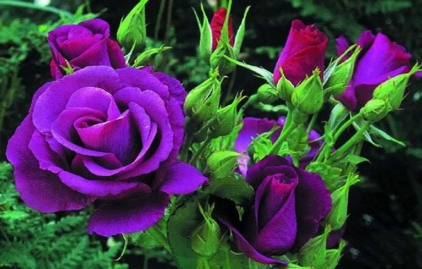 Hạt giống hoa hồng tím