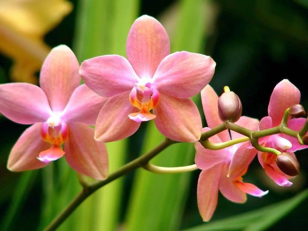 Hhoa lá nở thắm đẹp làn môi hồng