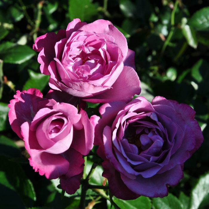 Hình ảnh avatar hoa hồng màu tím