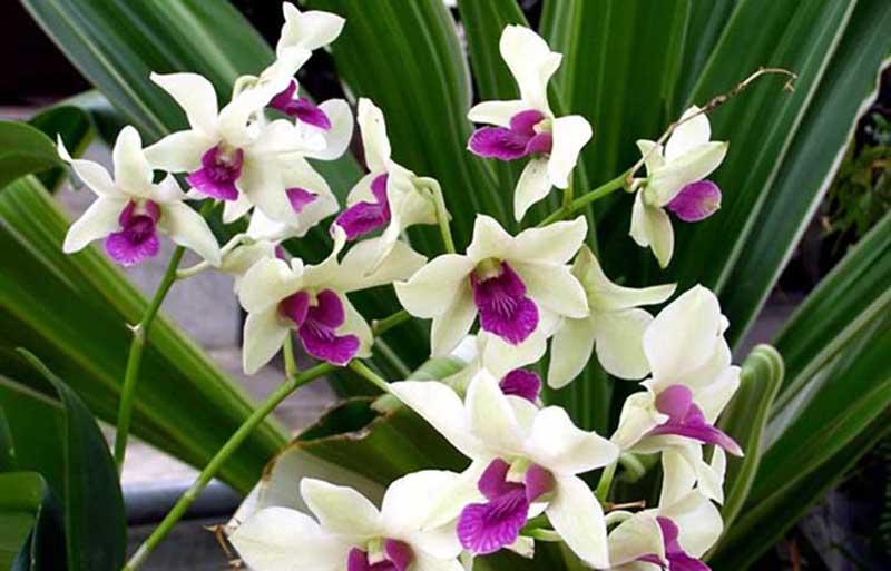 Hình ảnh bó hoa phong lan đẹp