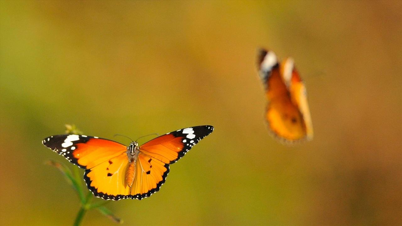 Hình ảnh bươm bướm bbay hình ảnh tổng hợp đẹp nhất