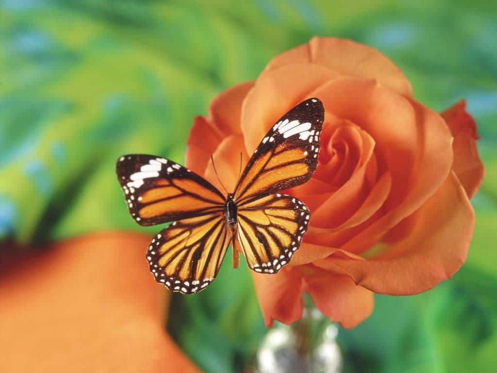Hình ảnh bươm bướm giao phối