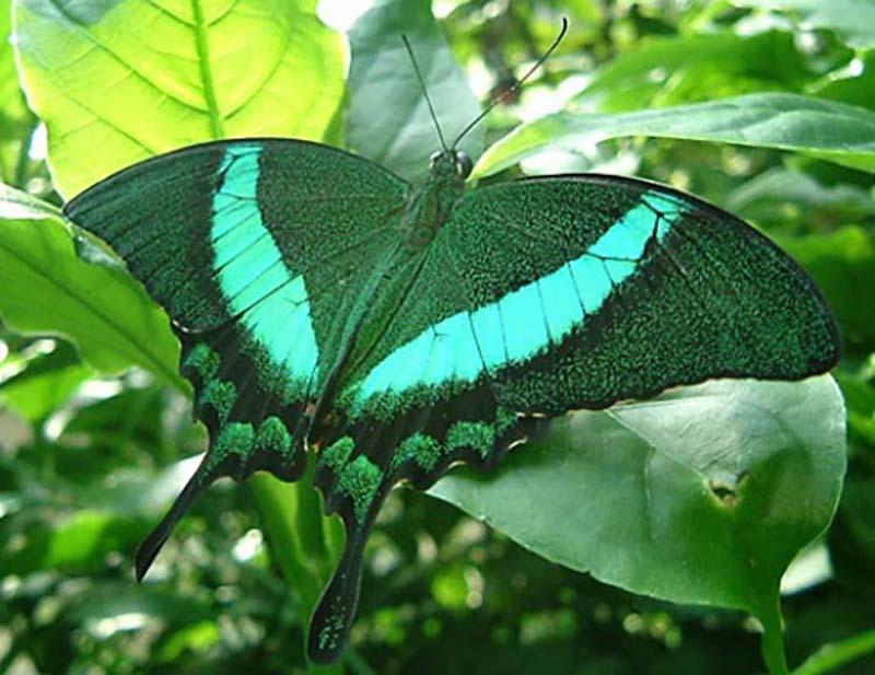 Hình ảnh bươm bướm xanh đẹp nhất