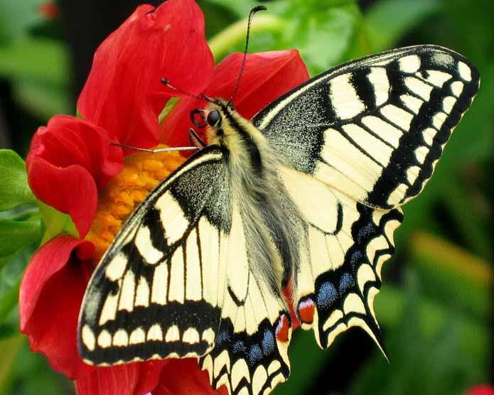 Hình ảnh bướm đậu trên hoa