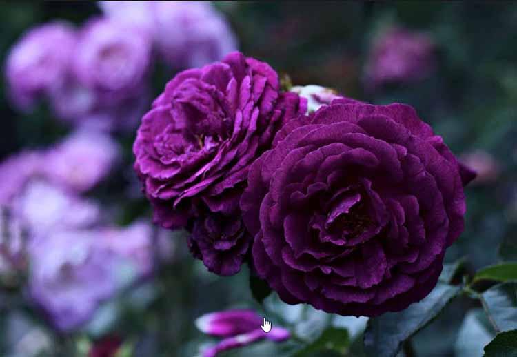 Hình ảnh các loại hoa hồng tím