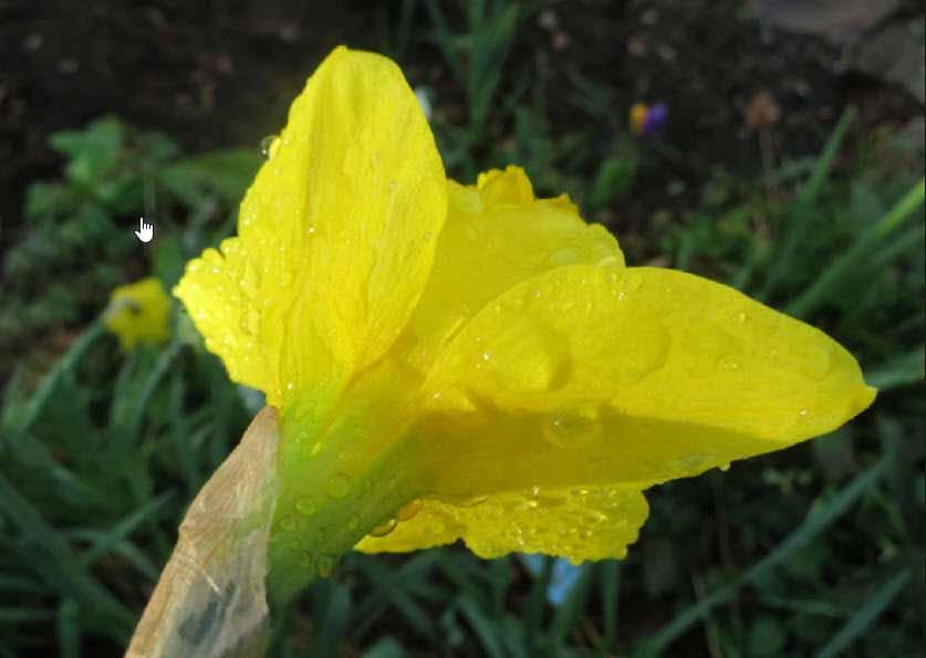 Hinh ảnh cây hoa ngọc lan vàng