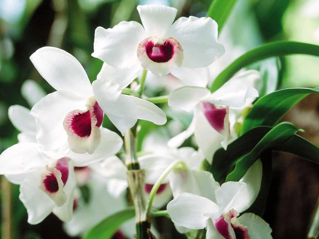 Hình ảnh chậu hoa phong lan đẹp nhất