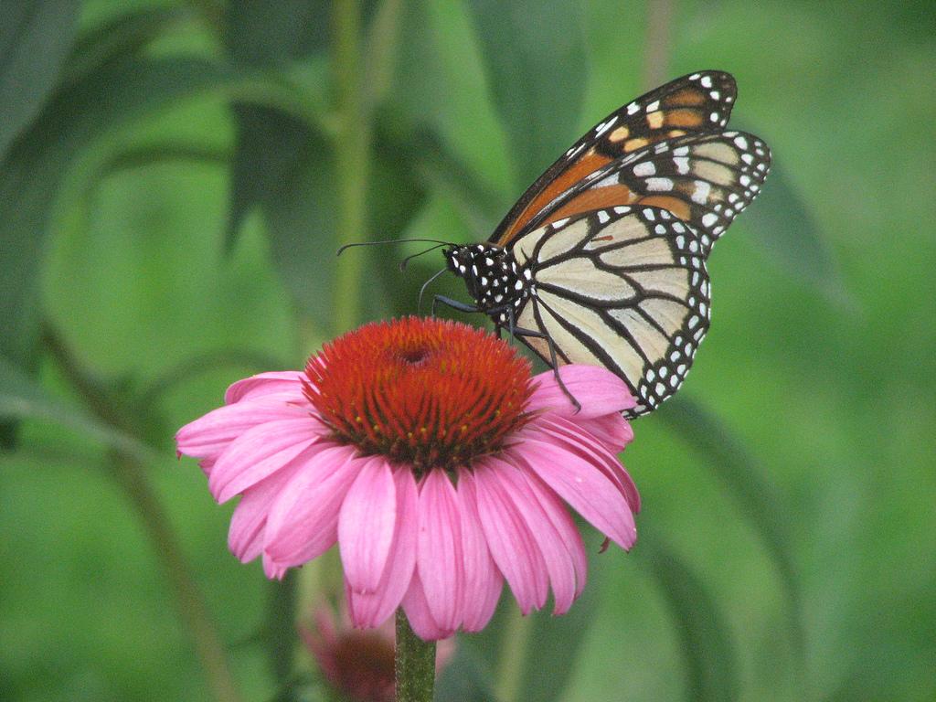 Hình ảnh của bươm bướm với vẻ đẹp mong manh