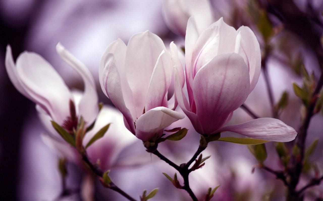 Hình ảnh hình nền hoa ngọc lan nở đẹp  nhất