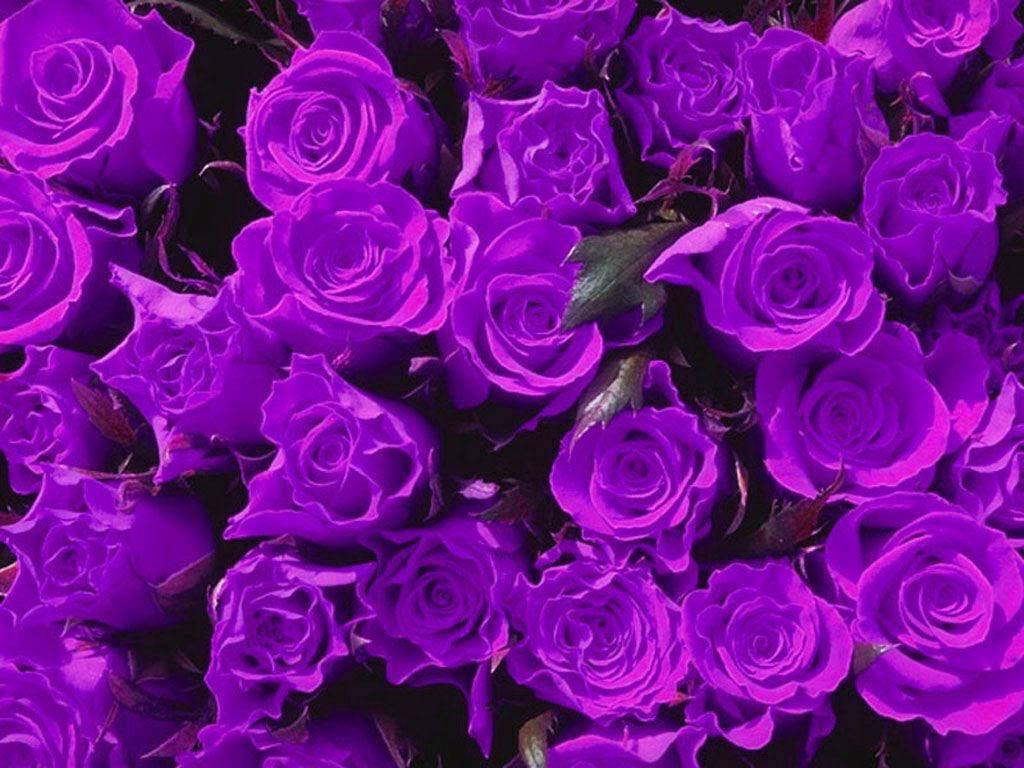 Hình ảnh hoa hồng tím đẹp nhất thế giới