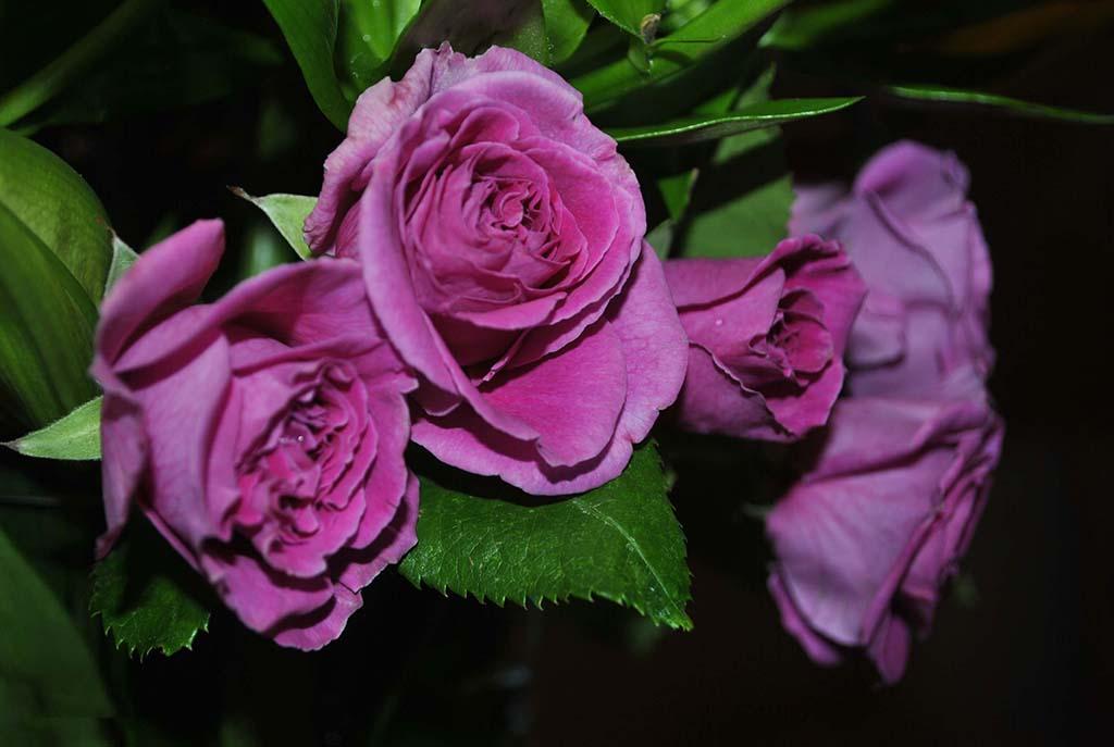 Hình ảnh hoa hồng tím đẹp nhất