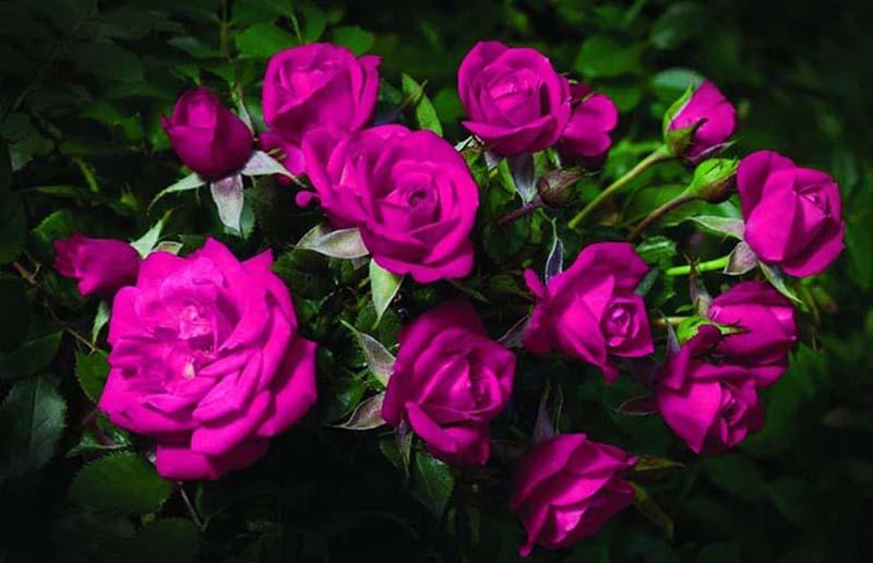 Hình ảnh hoa hồng tím đẹp