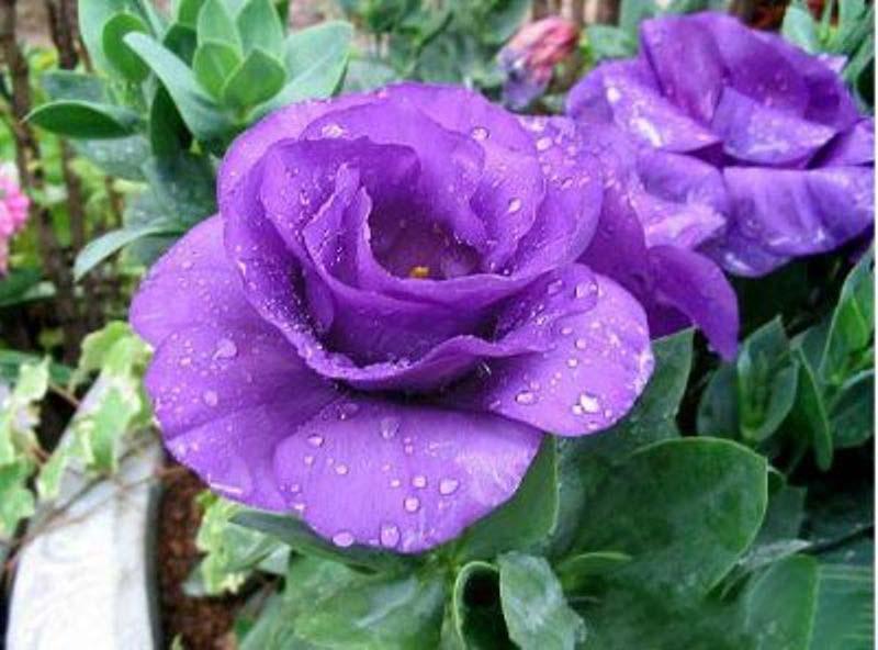 Hình ảnh hoa hồng tím nhạt