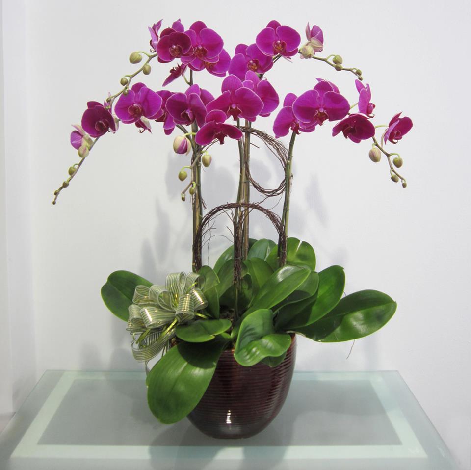 Hình ảnh hoa lan hoàng thảo vôi