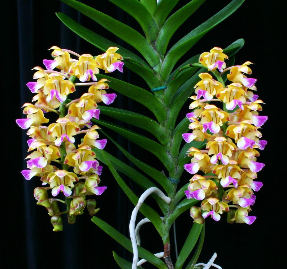 Hình ảnh hoa lan phi điệp