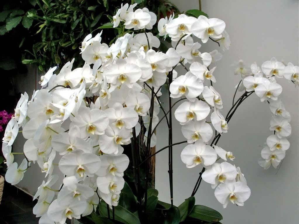 Hình ảnh hoa lan