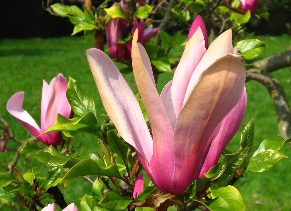 Hình ảnh hoa ngọc lan đẹp