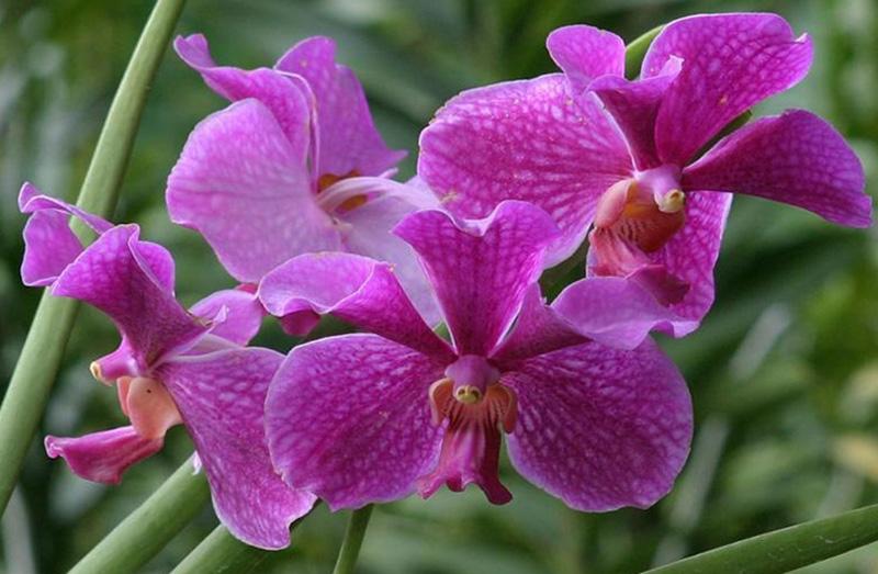Hình ảnh hoa phong lan đẹp nhất