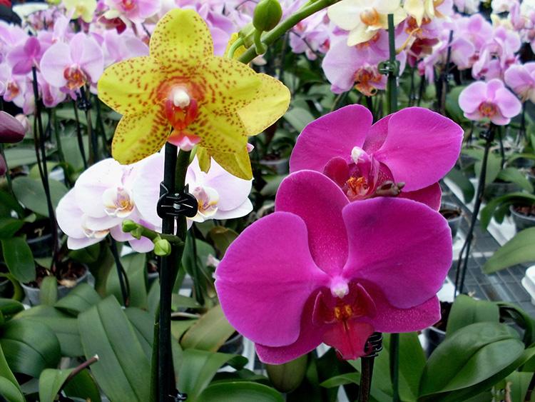 Hình ảnh hoa phong lan tím đẹp nhất