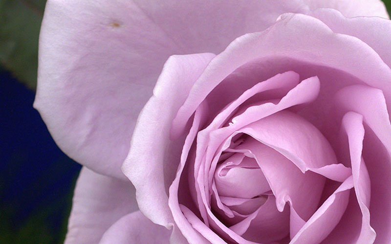 Hình ảnh nền hoa hồng màu tím
