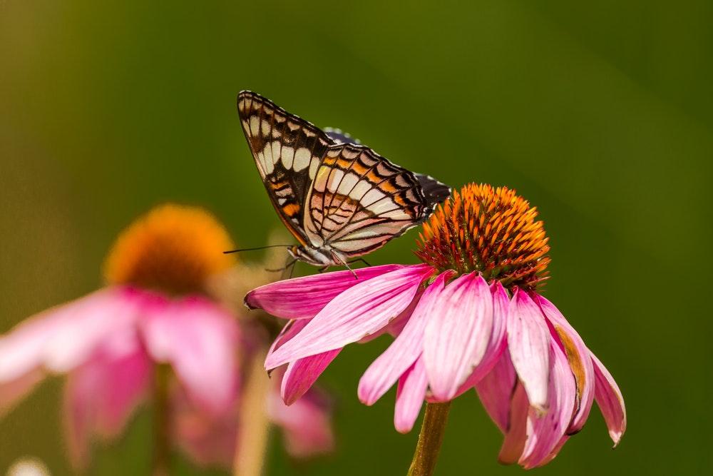 Hình nền bươm bướm đẹp