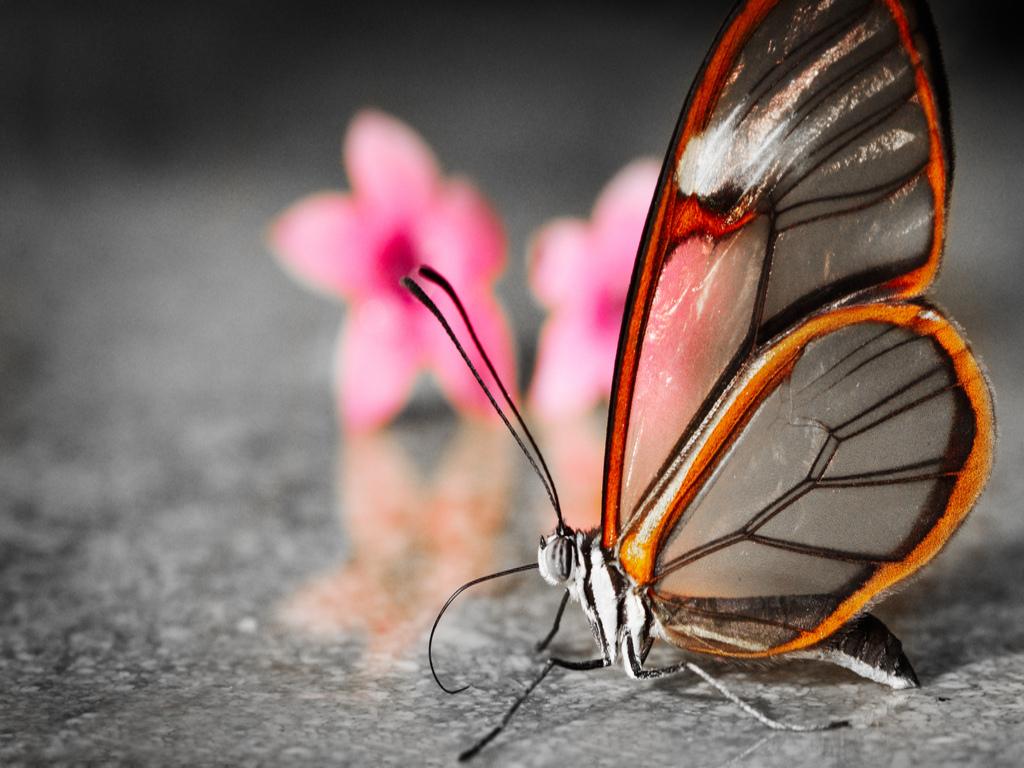 Hình nền bướm đẹp nhất