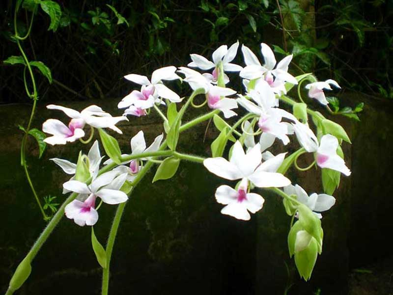 Hình nền hình ảnh hoa phong lan phi điệp đẹp nhất