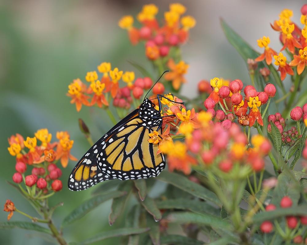 Hình xăm con bướm