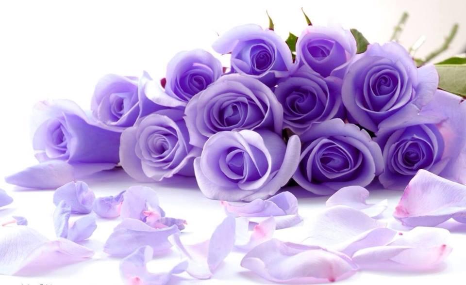 Hoa hồng bụi màu tím