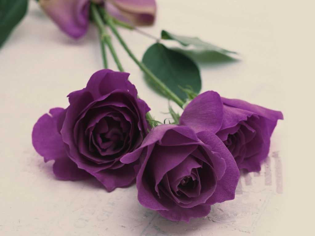 Hoa hồng tím chúc mừng sinh nhật