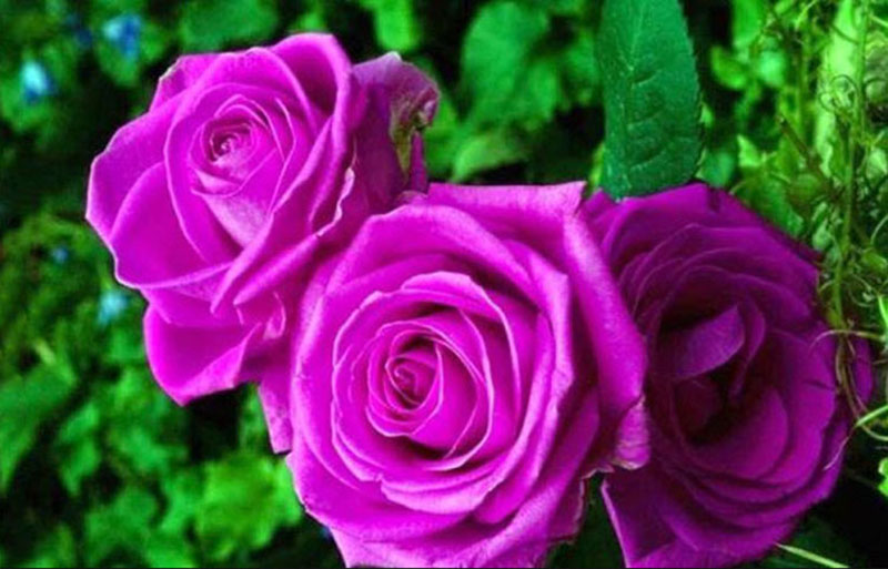 Hoa hồng tím tặng mẹ