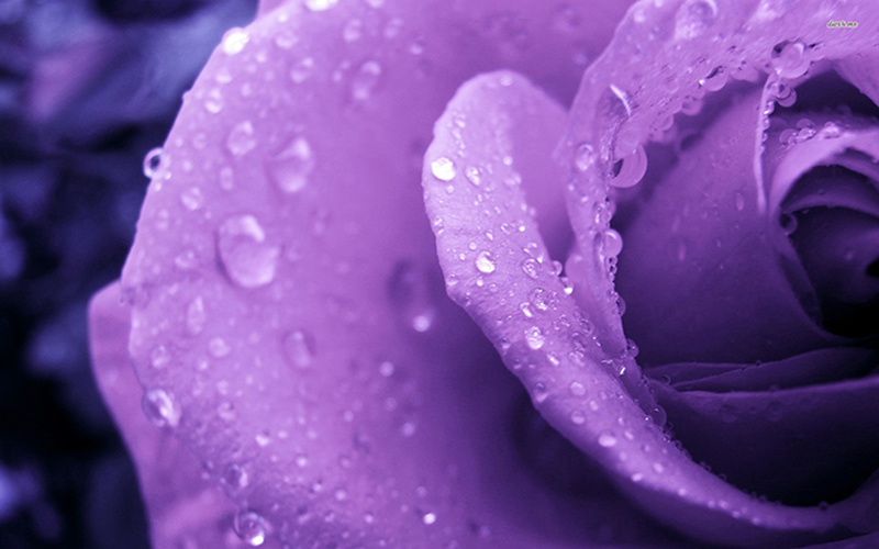 Hoa hồng tím thủy chung