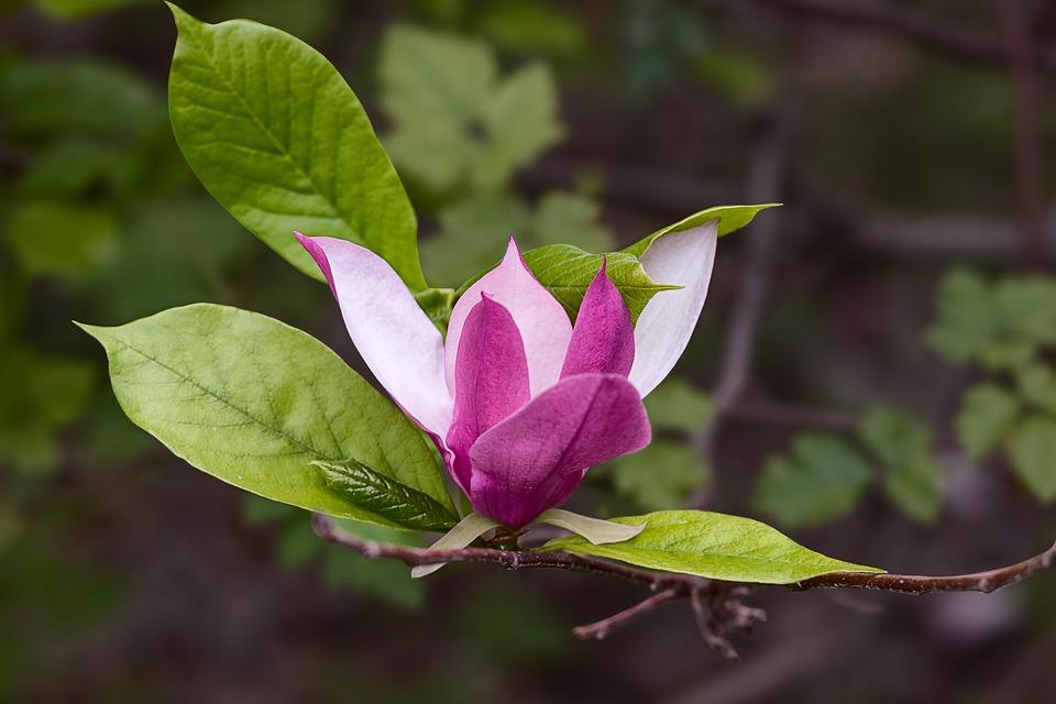 Hoa ngọc lan đà lạt