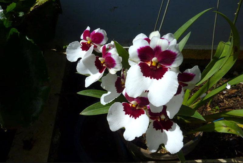 Hoa phong lan rẻ nhất bán bao nhiêu