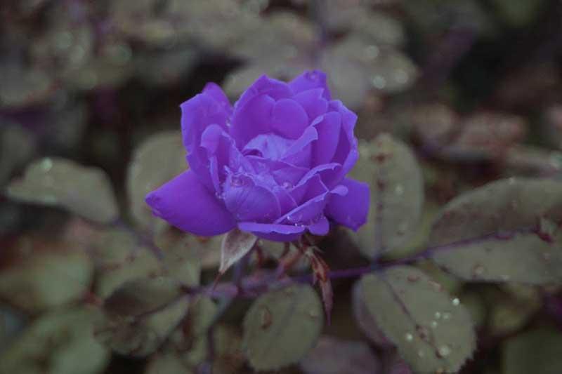 Hoa tím lục bình dương hồng loan