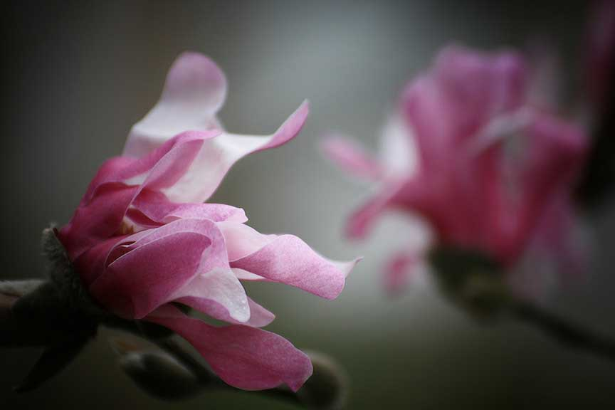 Kĩ thuật trồng cây hoa ngọc lan