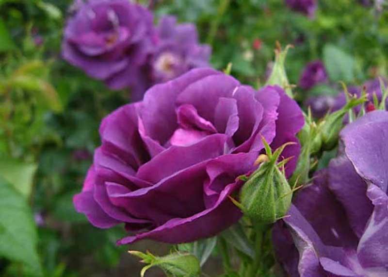 Lẵng hoa hồng tím đẹp nhất