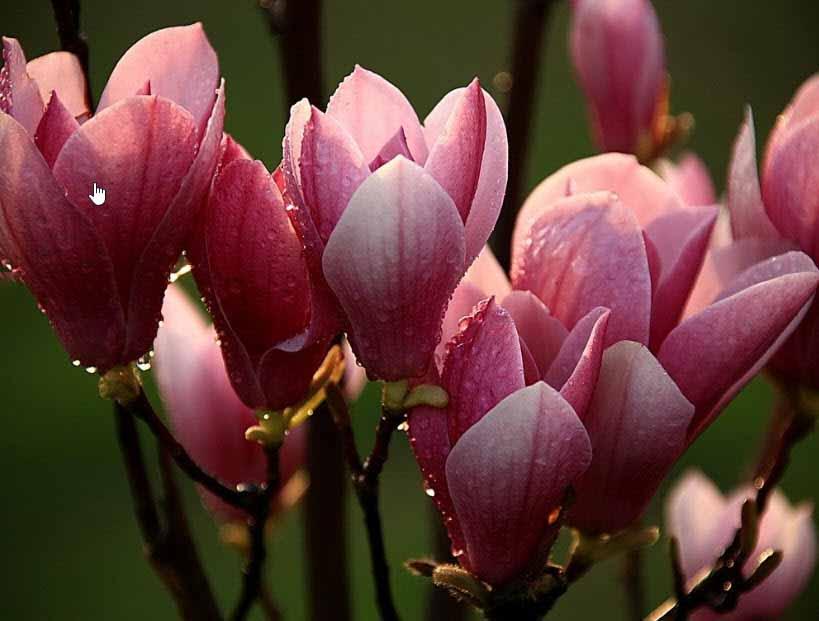 Mua hoa ngọc lan ở thành phố hồ chí minh