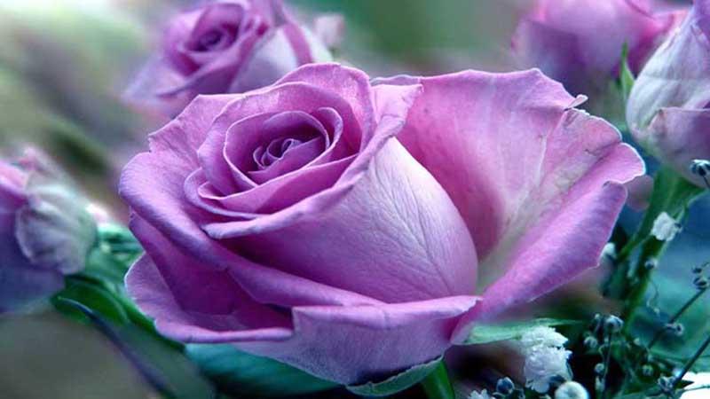 Ngắm nhìn sắc màu hoa hồng tím đẹp nhất thế giới