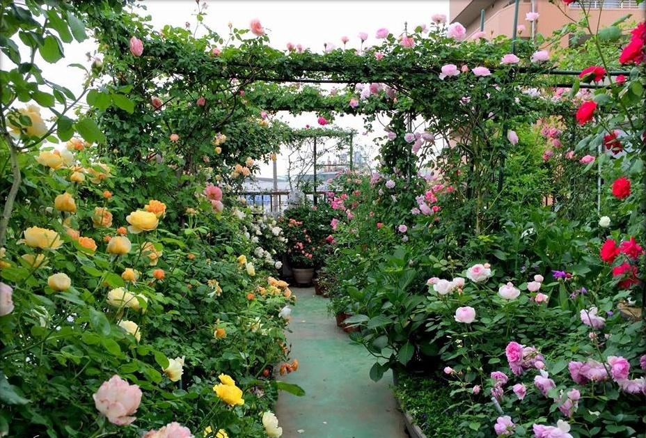 Thông tin về hoa hồng tím