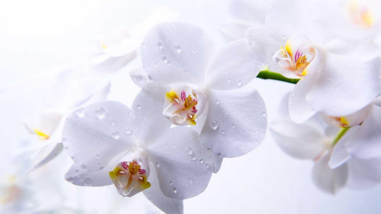 Thưởng thức hình ảnh hoa lan đẹp tựa nữ thần