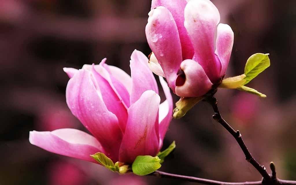 Tinh dầu hoa ngọc lan